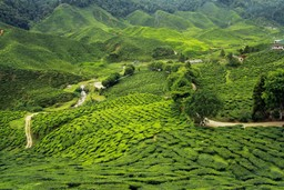 Darjeeling tea plantations