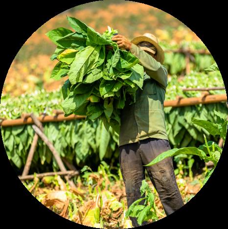 Tobacco farmer in Cuba