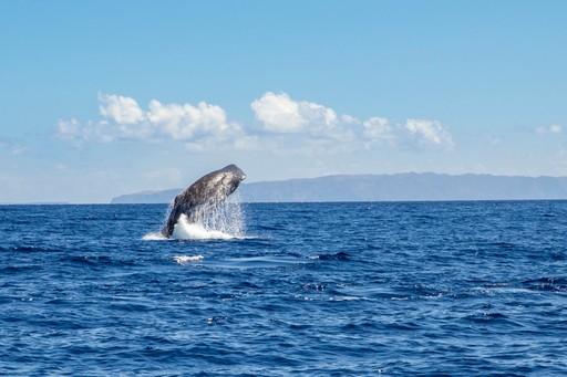 Sperm whale Madeira