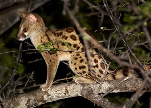 Genet spotted on a night safari in Tanzania