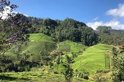 View over tea plantations of Ella