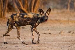 Niassa Reserve wild dogs