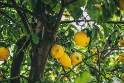 Lemons grow in a tree in Buenos Aires
