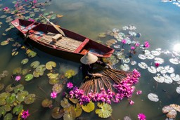 Harvesting waterlilies from Yen River, Vietnam