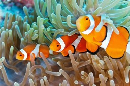 Clown fish in the Philippines