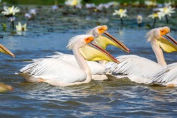Pelicans in Senegal