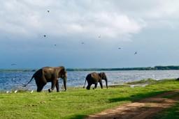 Wild elephants in Tissamanharama