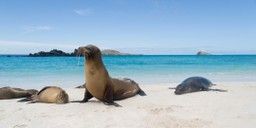 Sea lions on the beaches of Galapagos