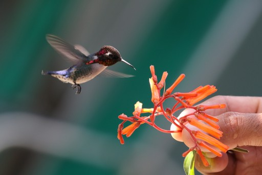 The bee hummingbird is the world's smallest bird and is native to Cuba