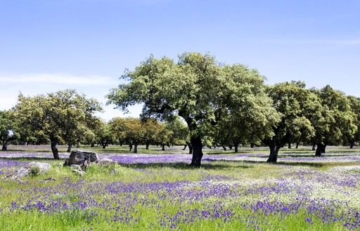 Cork tree meadow, portugal