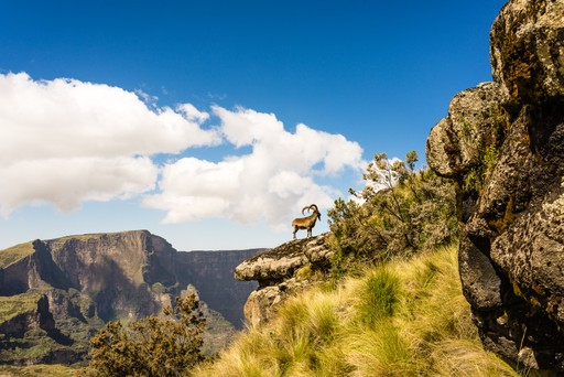 Walia Ibex goat on cliff of Simien Mountains Ethiopia