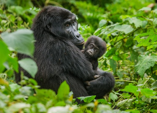 Silverback Gorilla and baby in Bwindi Impenetrable Forest Uganda