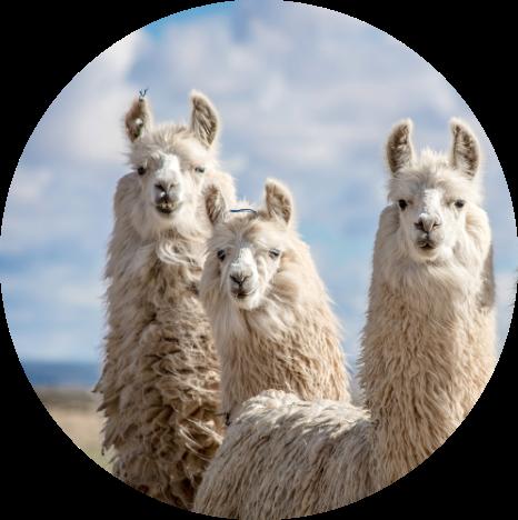 Llamas in Argentina