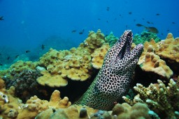 Tessellate Moray Eel