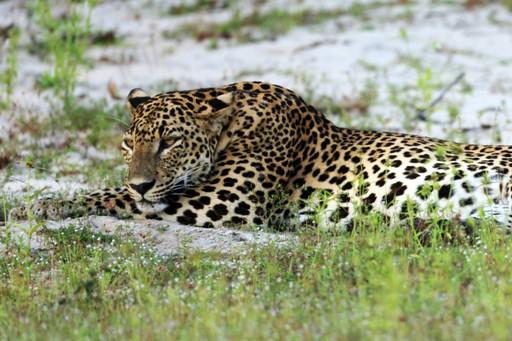 Leopard relaxing in Wilpattu National Park