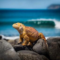 Iguana, Galapagos