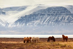 Icelandic ponies with snowy mountains in the background