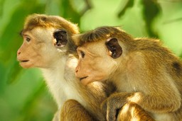 Monkeys on the lookout in Sri Lanka
