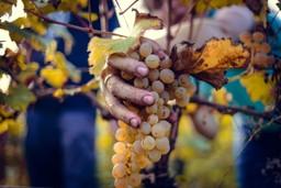 Grape picking in Georgia, Europe