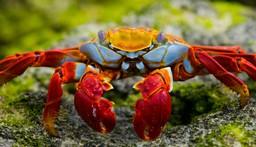 Sally Lightfood crab, Galapagos