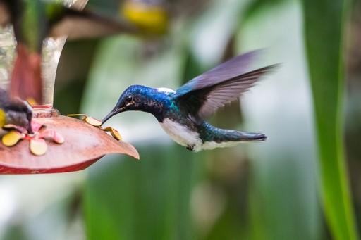 Hummingbird eats in gulf of Chirquiri Panama