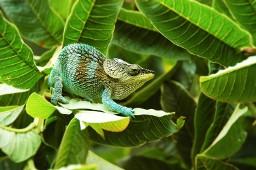 Chameleons in Madagascar