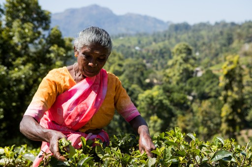 Lady picking tea on a Sri Lankan Tea Plantation
