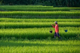 Farmer in paddy fields, China