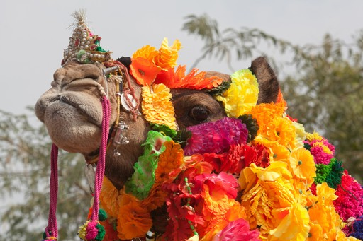 Camel decorated for Rajasthan camel fair