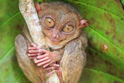 Philippines tarsier