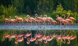Caribbean flamingos in Cuba