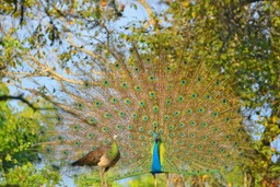 Peacock serenading, Sri Lanka