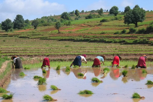 Women in rice paddy in Kalaw, Myanmar