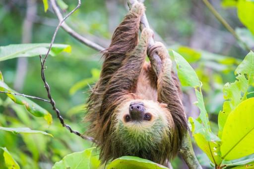 Wild Sloth in Bocas del Toro Panama