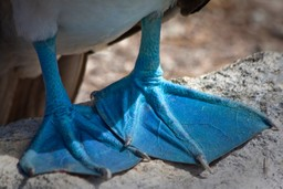 Feet of the blue footed booby