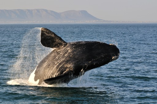 Southern right whale breaching in South Africa