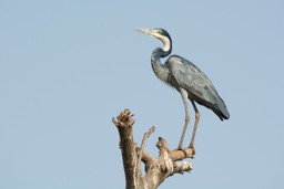 Heron in Senegalese wetlands