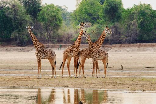 Zambia: Thornicroft Giraffe