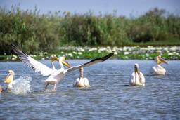 Pelican in Senegal wetlands