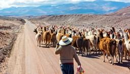 Llama Herder, Atacama Desert