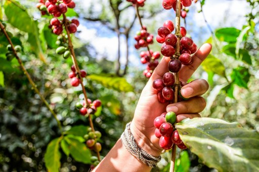 Coffee beans growing in Guatemala