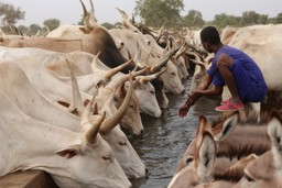 Cattle drinking at a water trough in Senegal
