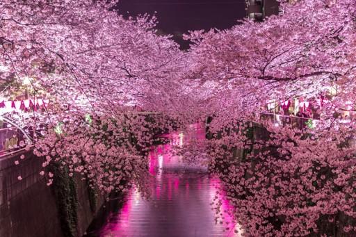 Cherry blossom in Naka-Meguro, Tokyo