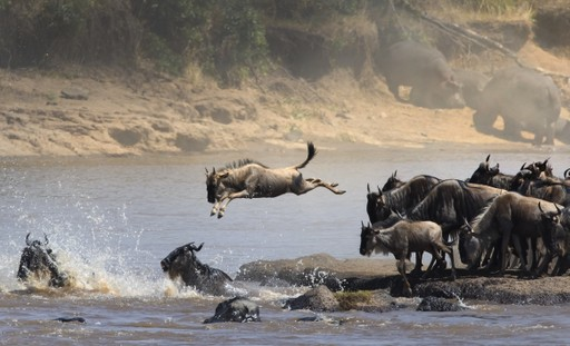 Great Migration crossing a river in Kenya