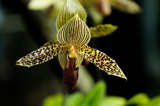 Orchid in Kinabalu, Borneo