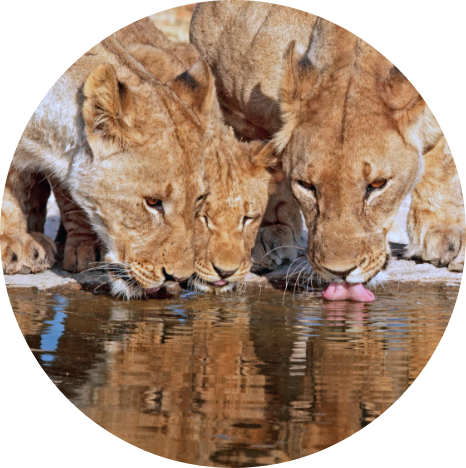 Lions drinking in Namibia
