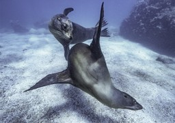 Sea lions swimming in Galapagos