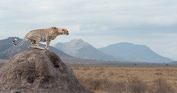 Cheetah poised for hunting