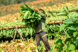 A tobacco farmer gathers leaves in his field, Cuba