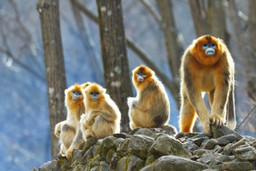 Golden snub-nosed monkeys in China